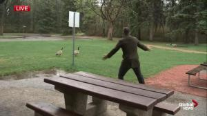 Geese steal the show during Kent Morrison's live hit at Hawrelak Park